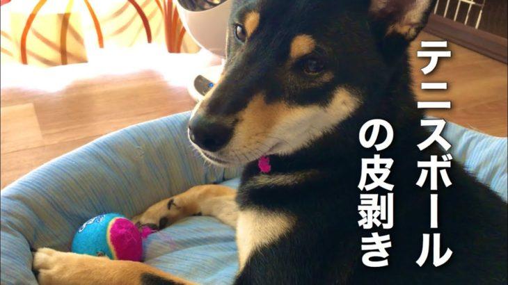 テニスボールを剥く柴犬 Shiba Inu stripping a tennis ball