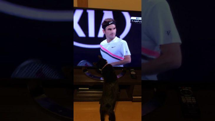 【ねこ】サバ美 vs フェデラー  全豪オープン2017 【cat】Savami vs R.Federer AustralianOpen 2017