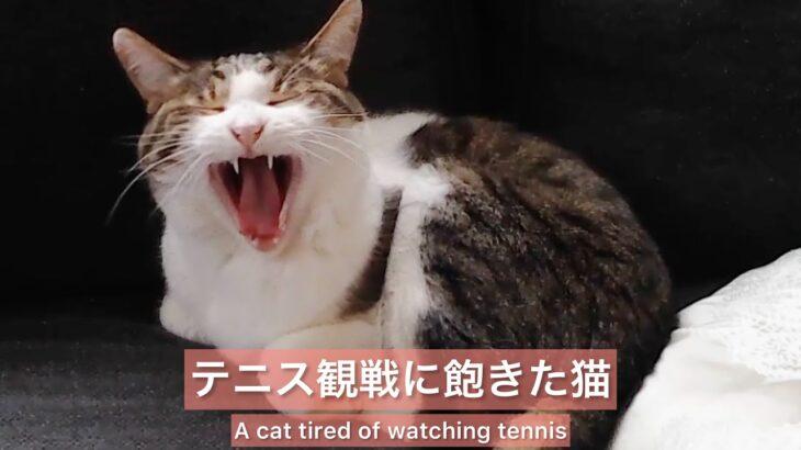 ジョコビッチ優勝記念 テニス観戦に飽きた猫 Congrats Djokovic! Please look at a cat that is tired of watching tennis game.